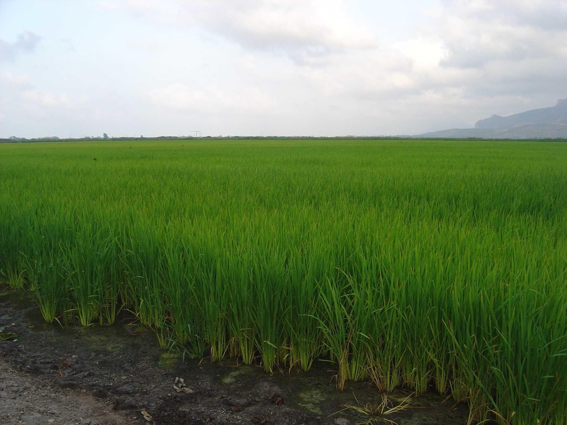 https://multimedia.comunitatvalenciana.com/20700A991CCD44FDB625B96F505C66B1/img/2279DB2F6E3747D0867D7DEADD4B2E77/Pego_arroz_4.jpg?responsive
