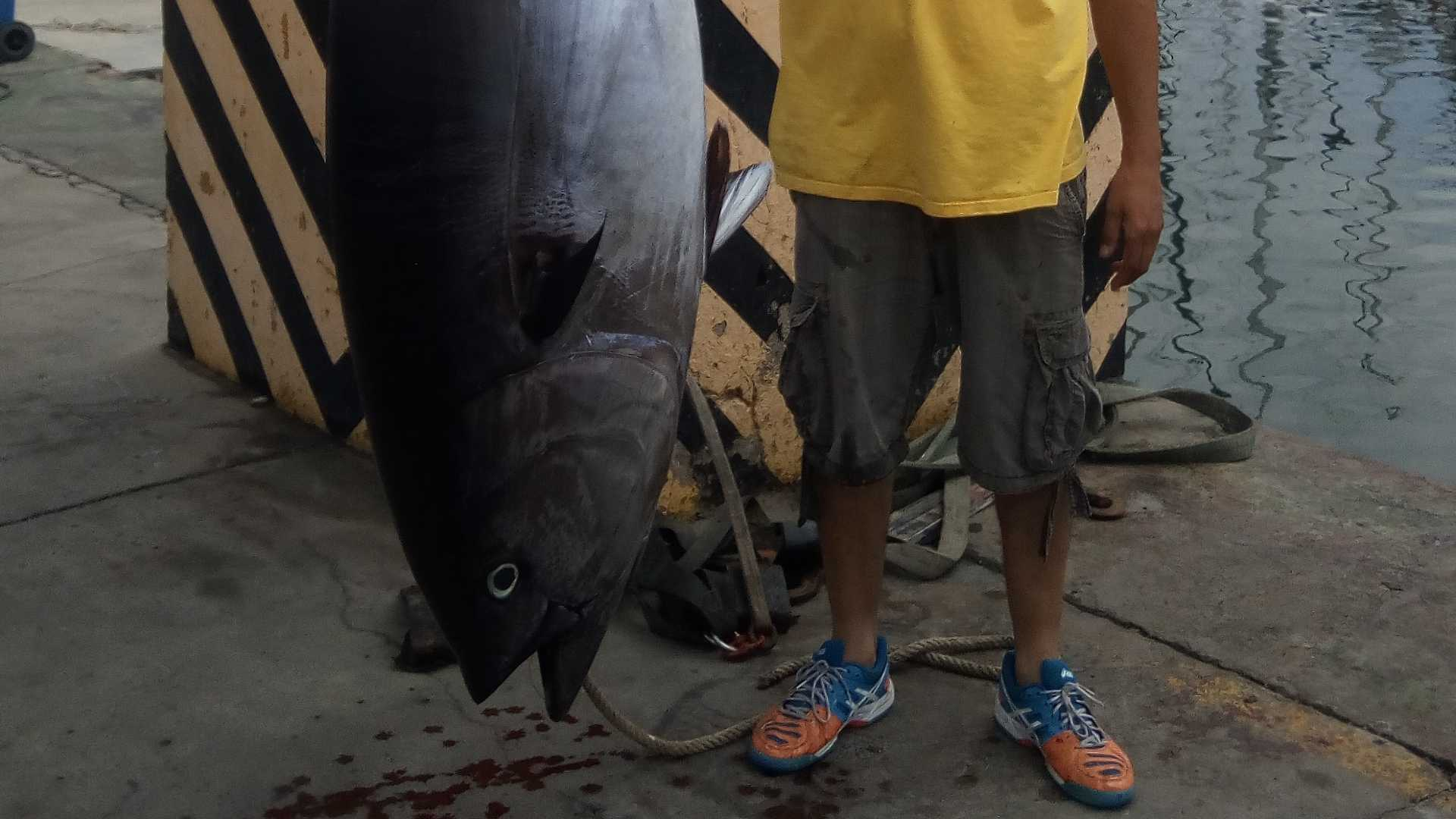 Pesca del brumeo (Atún gigante)