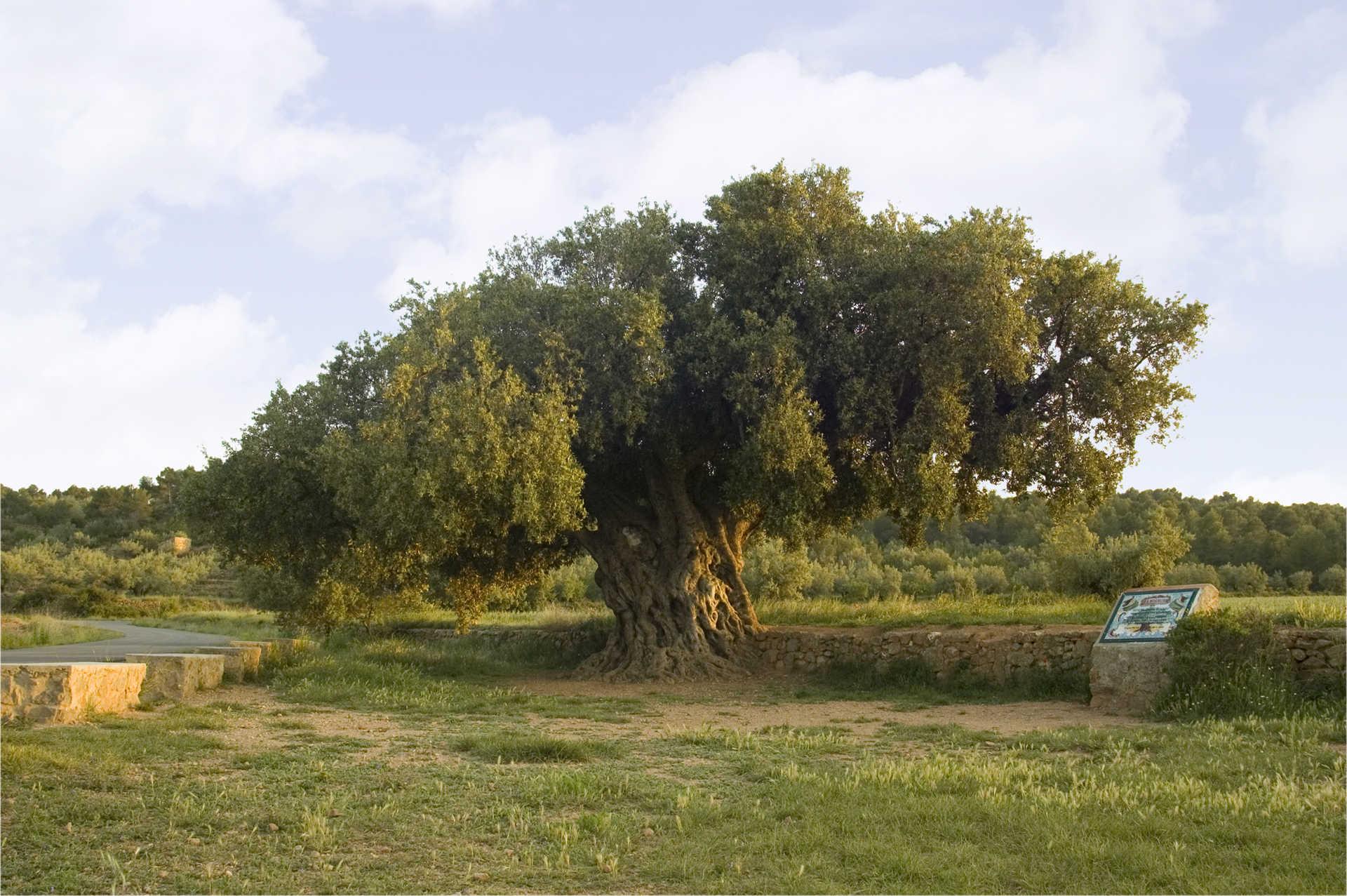 Jahrhundertealter Olivenbaum La Morruda